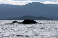 Humpback Whale off of Madagascar