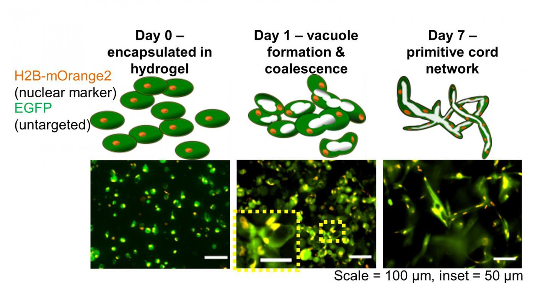Tubulogenesis