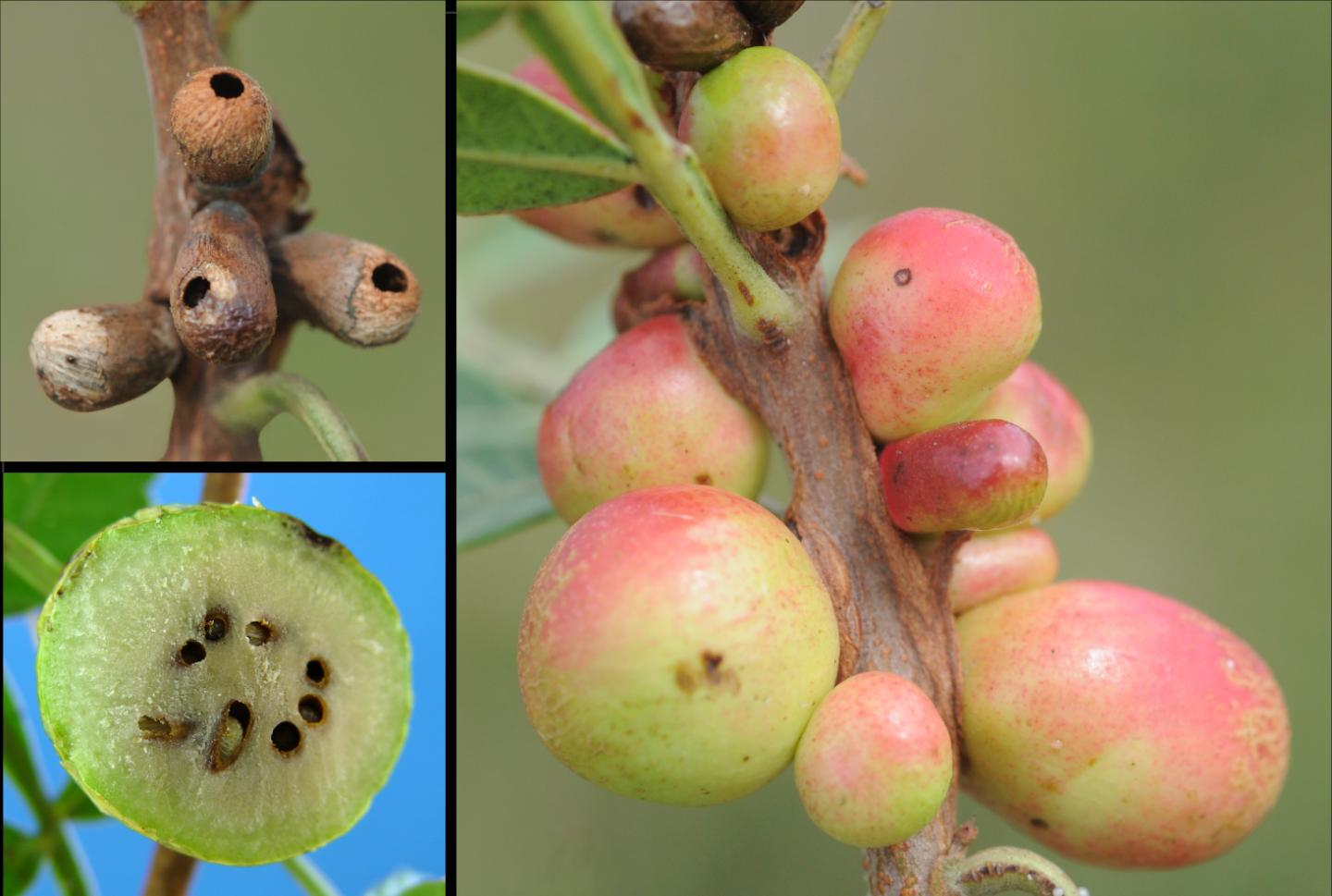 Galls Attacked by Parasitoids