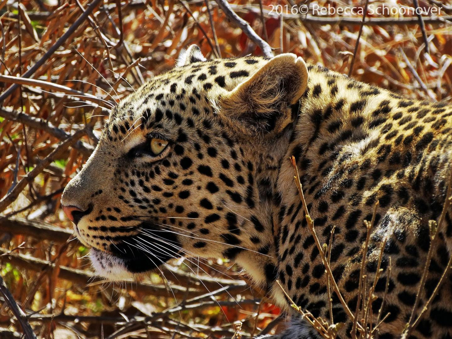 A Leopard Pauses in Pilanesberg National Park, South Africa