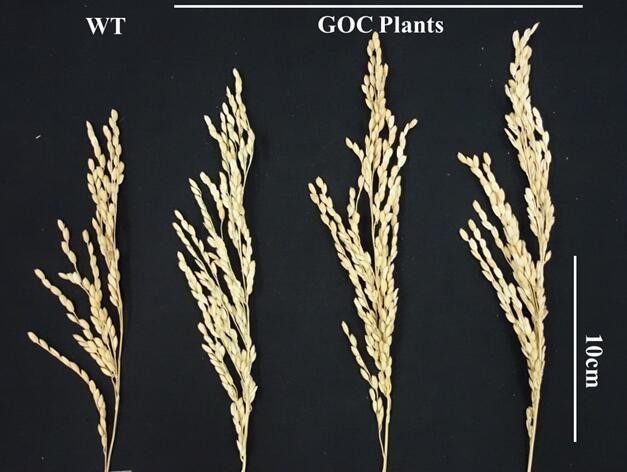 Engineered Rice Plants