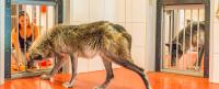 Wolves More Prosocial than Pack Dogs in Touchscreen Experiment