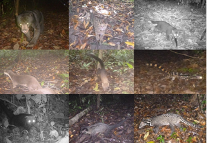 Some of the recorded carnivore species