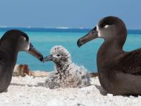 Two black-footed albatross or ka'upu watch over their chick at French Frigate Shoals