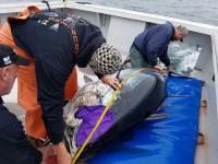 Measuring a Bluefin Tuna Prior to Tagging