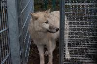 One of the Wolves Waiting in the Test Apparatus