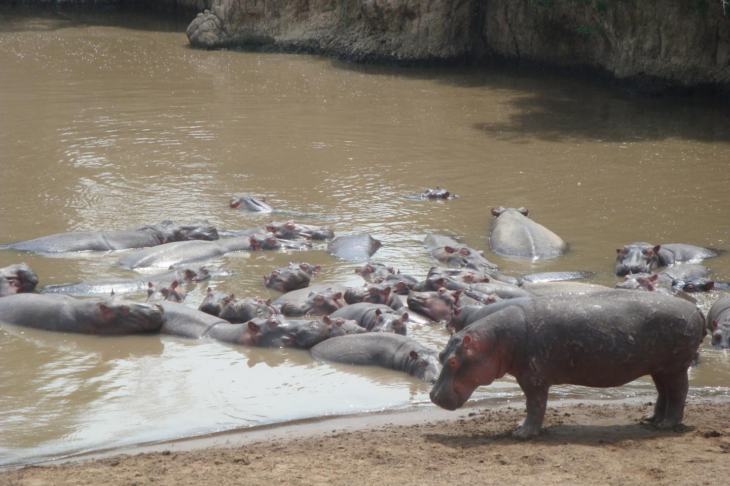 Hippos Lazing Away the Day Together