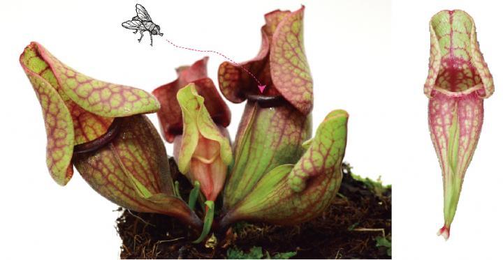 Pitcher-Shaped Leaves of a Carnivorous Plant, <i>Sarracenia purpurea</i>
