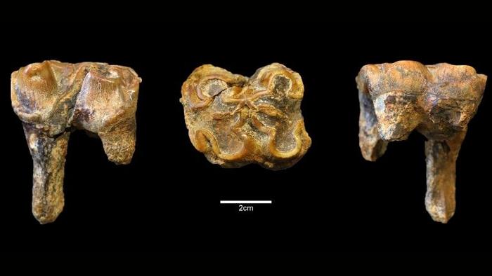 Hippopotamus antiquus tooth fossil