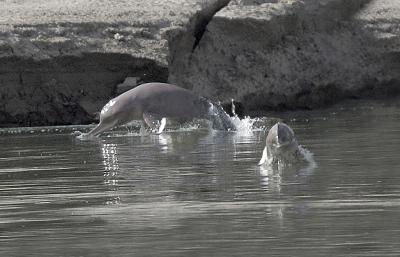 Indus River Dolphins