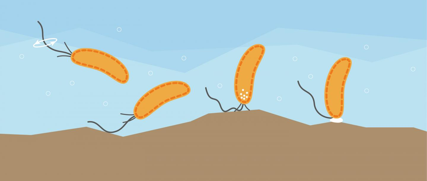 Sense of Touch: Swimming Bacteria Can Sense Surfaces with the Flagellum.