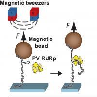 Magnetic Tweezers