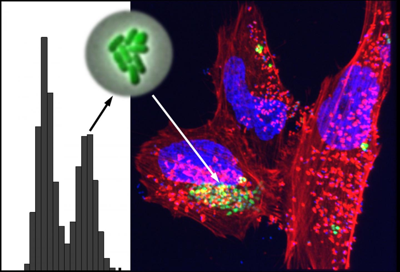 Bimodal Hypervirulent Bacteria