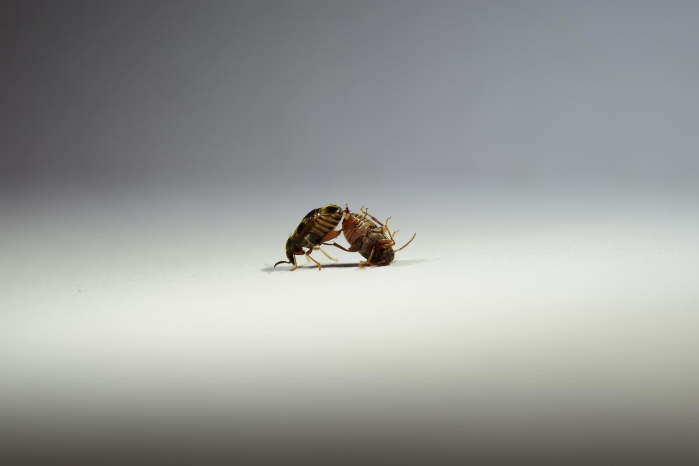 <em>Callosobruchus maculatus</em> Mating