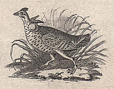 Audubon's Running Grouse