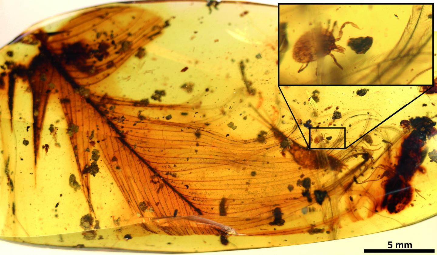 Hard tick Grasping a Dinosaur Feather Preserved in 99 Million-year-old Burmese Amber