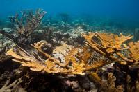 Elkhorn Coral (1 of 2)