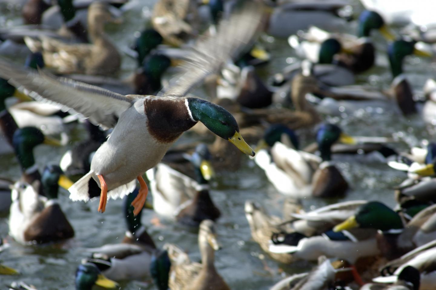 Better Insights into Drivers of Avian Flu Outbreak (1 of 1)