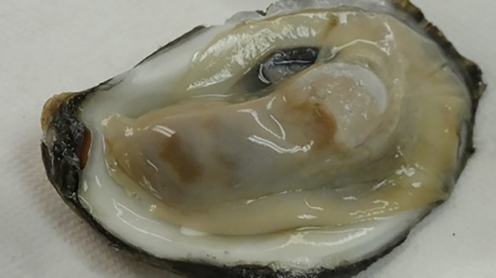 Healthy oyster from Chesapeake Bay