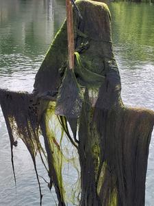 Green algae on Lady Bird Lake