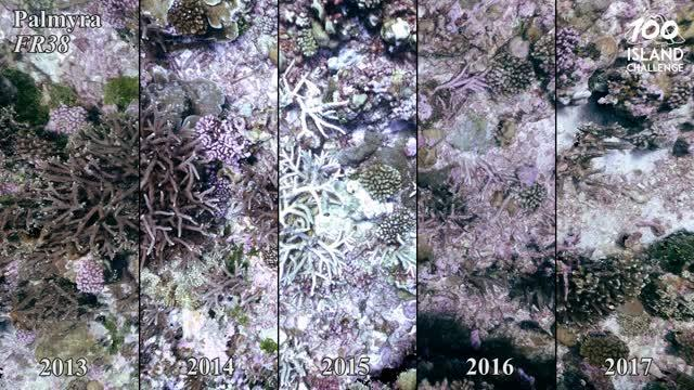 Palmyra Bleaching and Recovery