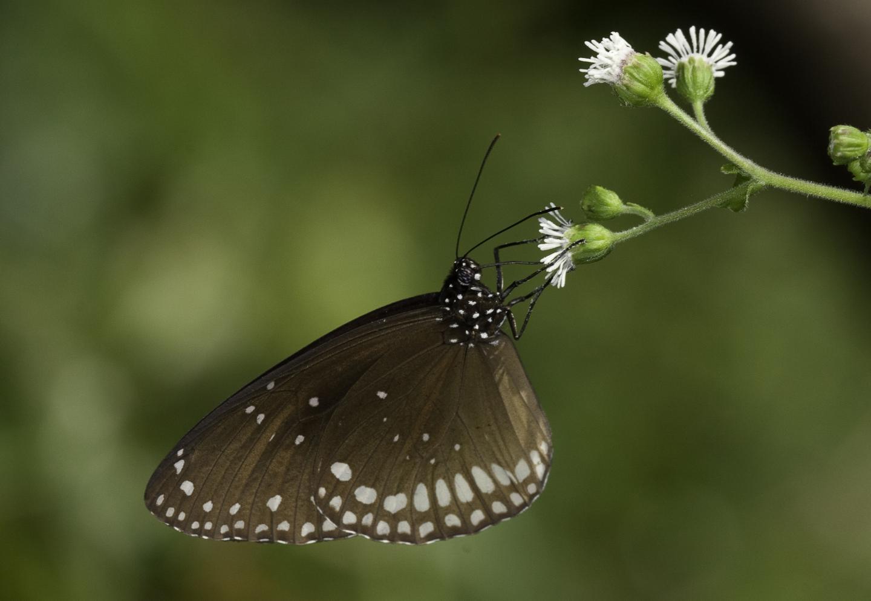 <i>Euploea sylvester</i>