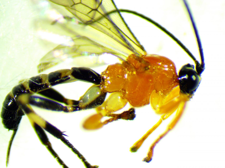 Newly Discovered Zatypota Species Wasp