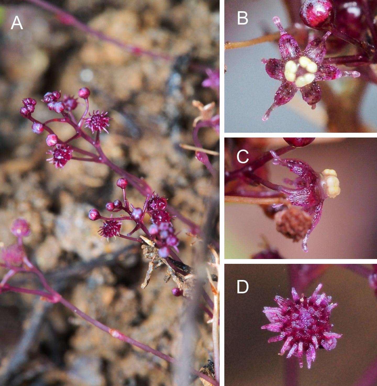 New Non-Photosynthesizing Plant Species Discovered on Ishigaki Island, Japan (1)