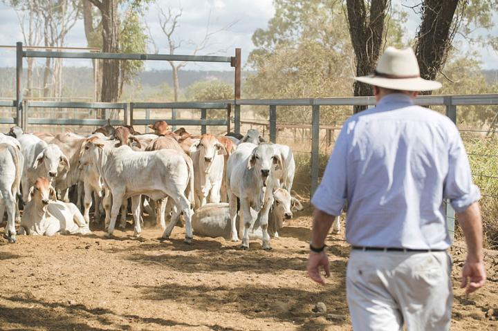 Temperament Is An Important Trait in Management of Cattle