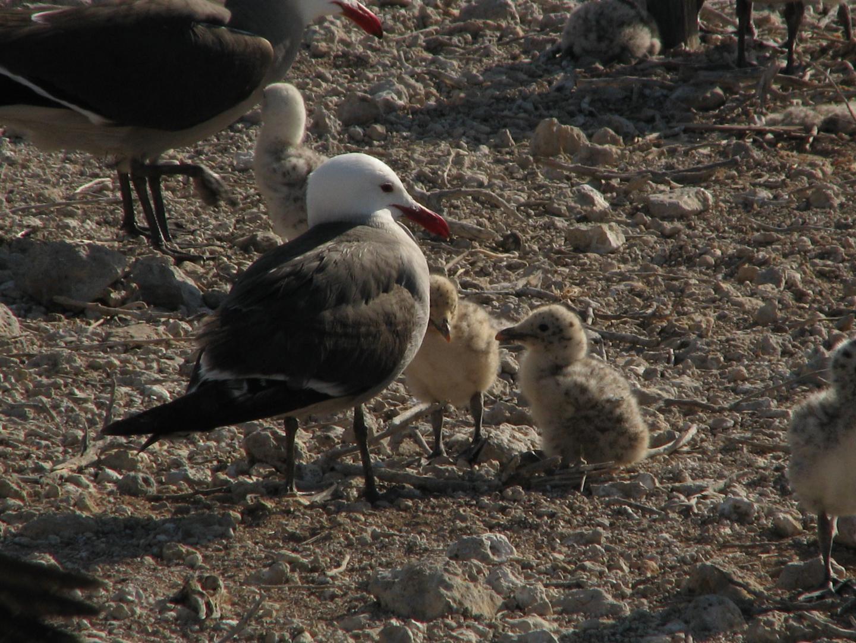 Heermann's Gull With Chicks