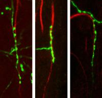 Chandelier Cells Inhibit Nearby Excitatory Neurons