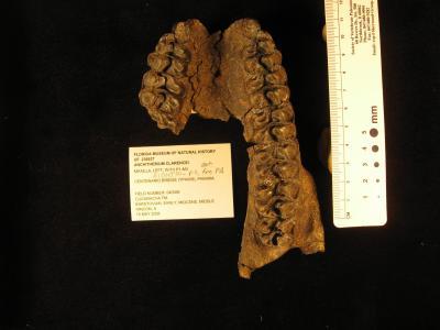 <i>Anchitherium Clarencei</i>
