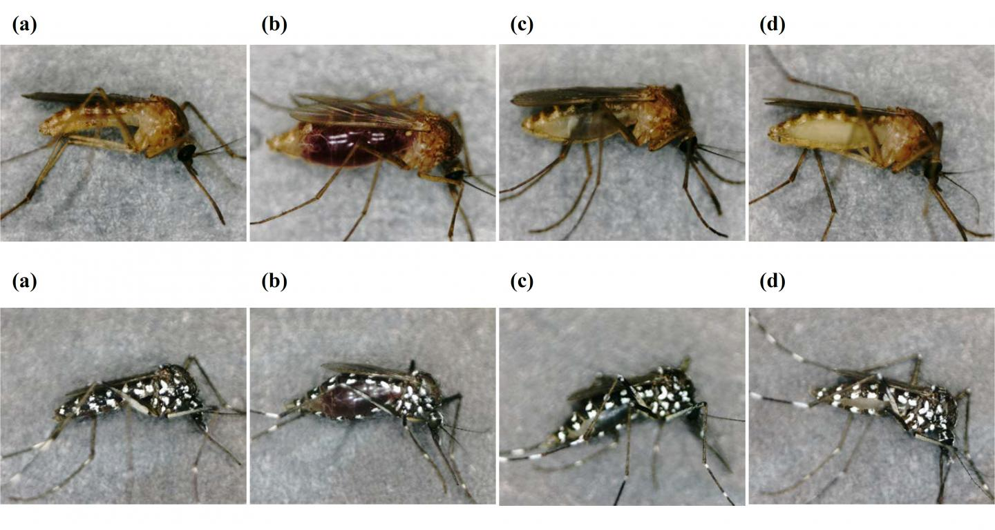 Stereomicroscopic Images Of Two Mosquito Species at Taken at Different Times after Feeding on Human