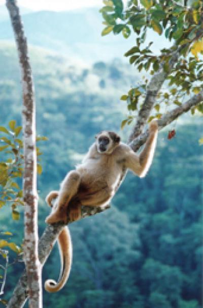 Global Warming Cycles Threaten Endangered Primate Species (1 of 3)