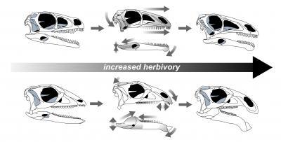 Plant-Eating Dinosaur Skulls Evolve Over Time