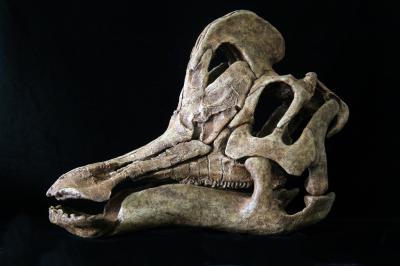 Skull of Duck-Billed Dinosaur from Mexico