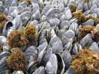 Dead, Eroded Mussels