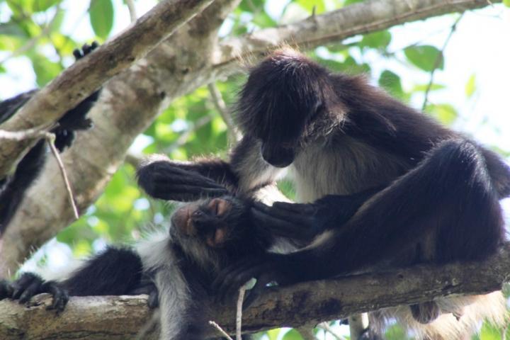 Spider monkeys grooming