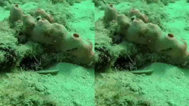 Cleaner Shrimp as Seen in Human Vision (Left) and Fish Vision (Right)