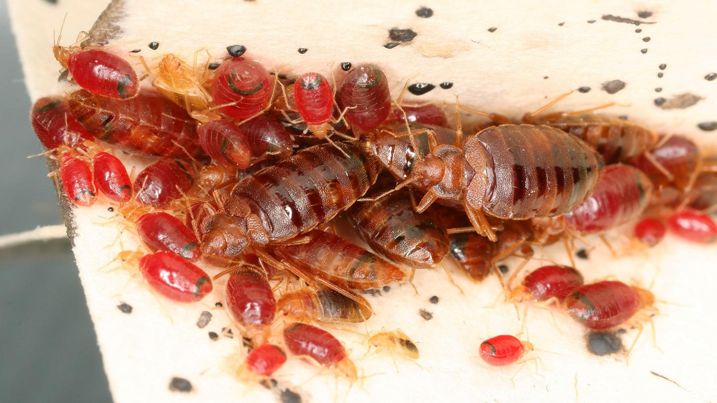 Bed Bugs Modify Home Microbiomes