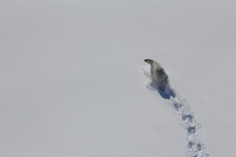 Baffin Bay Polar Bear