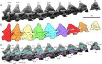 Neck Bones of <em>Alamosaurus sanjuanensis</em>