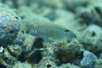 Shell-Dwelling Fish <i>Neolamprologus multifasciatus</i>