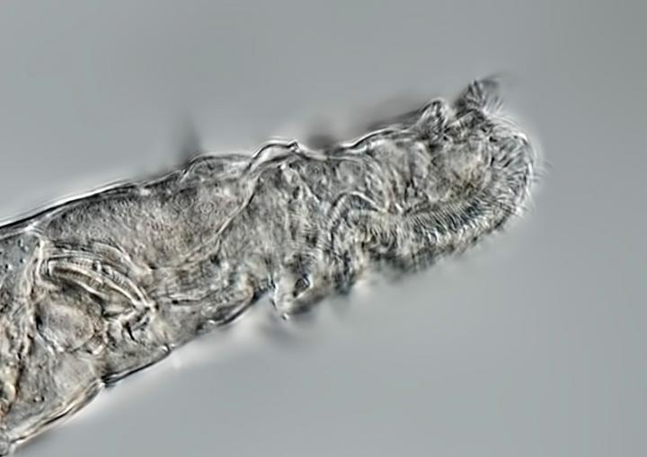 Lateral view of rotifer