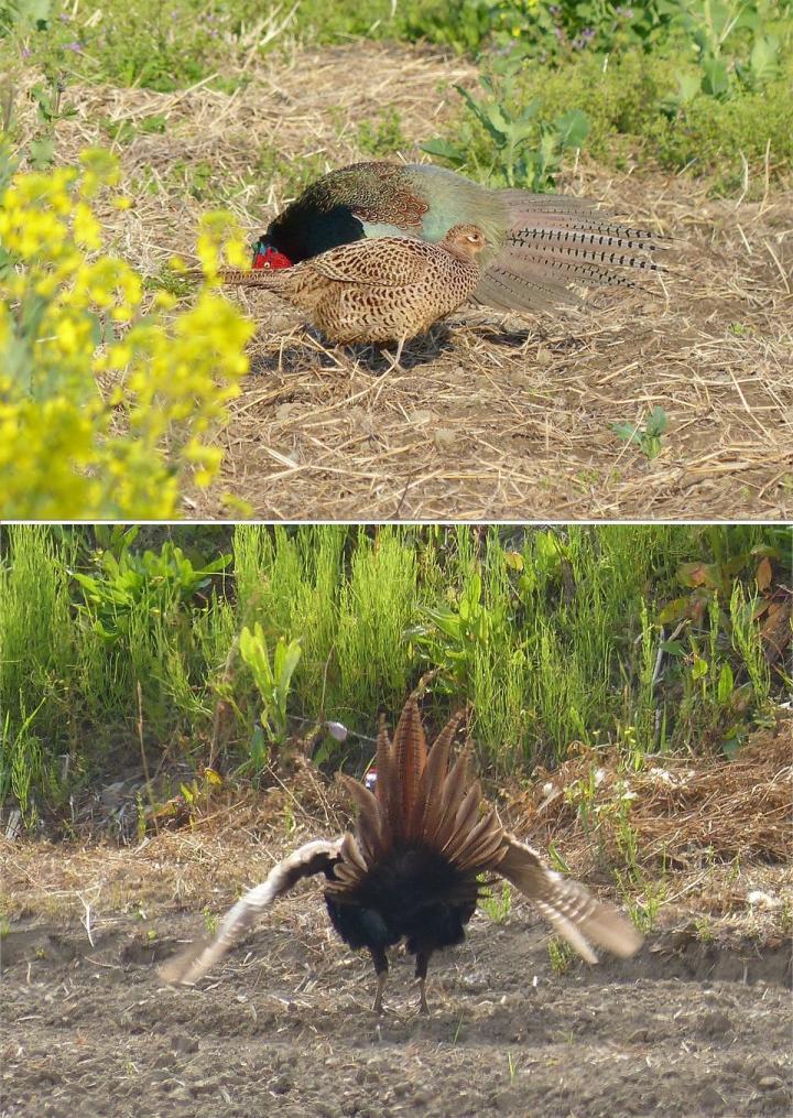 Pheasant Tail Shape