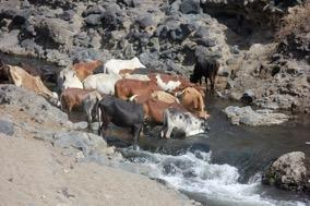 Cattle May Spread Leptospirosis in Africa, Study Suggests