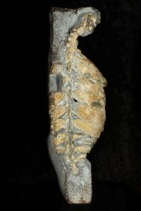 <i>Eunotosaurus africanus</i> Skeleton (1 of 2)