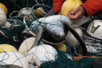 A Green Turtle Caught in a Fishing Net