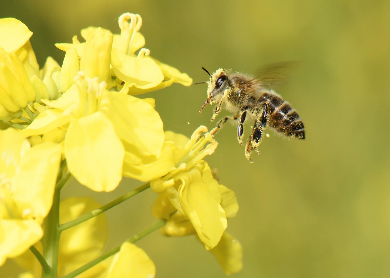 Honey Bee and Flower