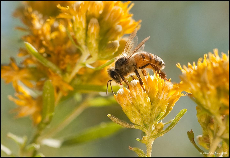 Honey Bee Feeds on a Flower